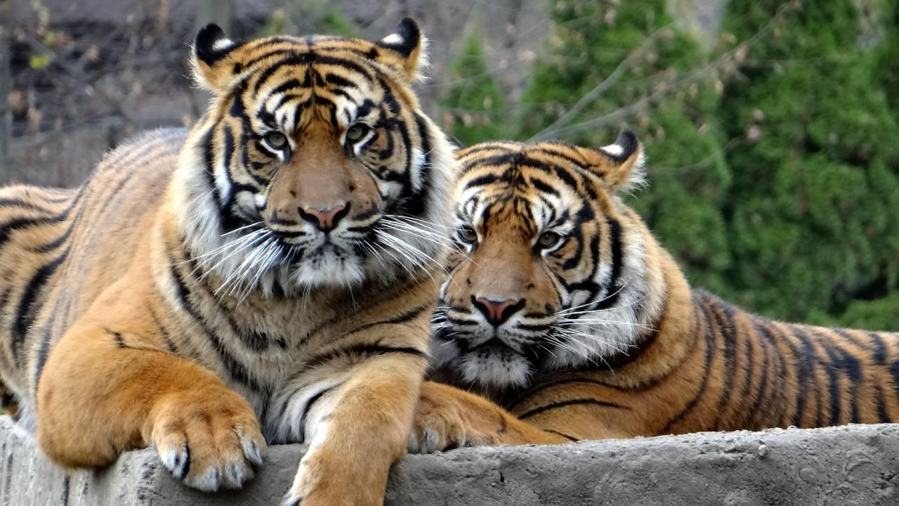 Asian tigers could roar on tech titan leads